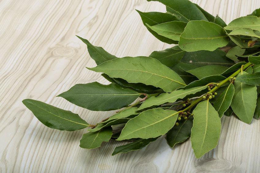 Laurier aromatique